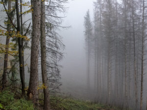 Nebelwald – Karl Röser