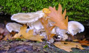 Weißer Pilz – Karl Röser
